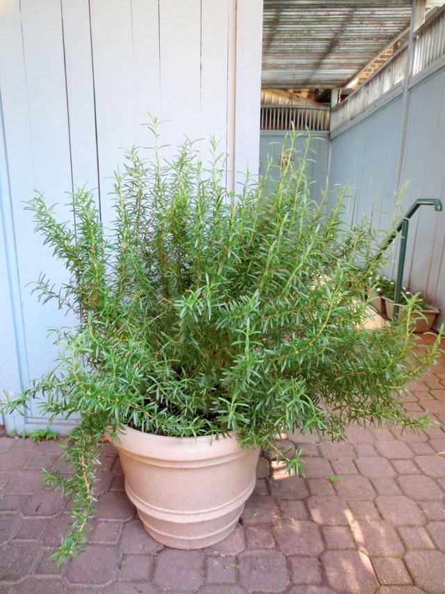 huge-rosemary-plant
