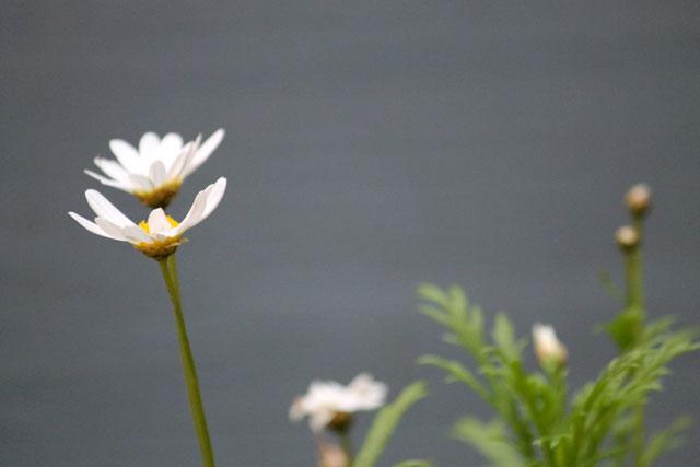 marguerite daisy 02