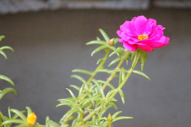 moss rose or Portulaca grandiflora