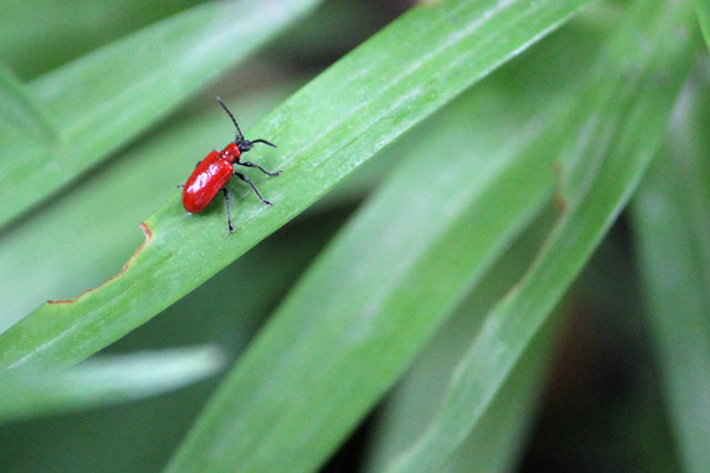 scarlet-lily-beatle-toronto-2014-02