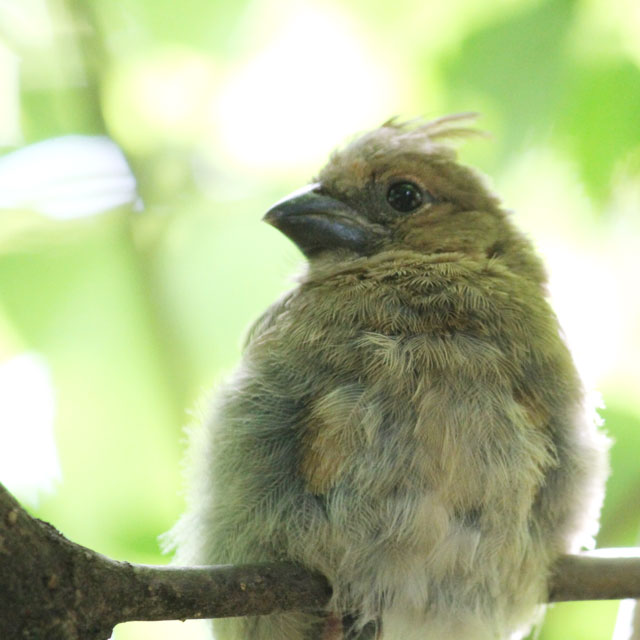 baby cardinal bird close up