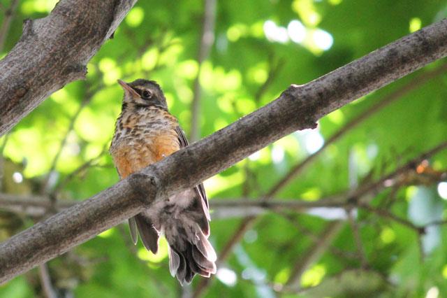 baby-robin-bird