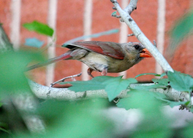 female-cardinal-toronto-2014