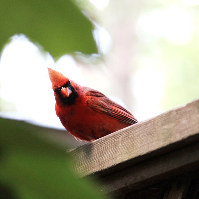 male cardinal on fence 02