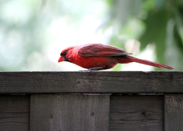 male-cardinal-on-fence
