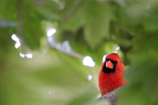 male cardinal toronto 2014 01