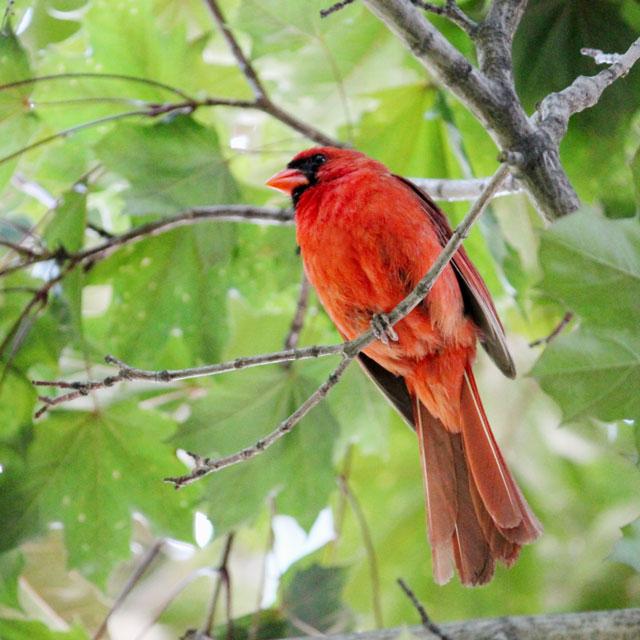 male-cardinal-toronto-2014-03