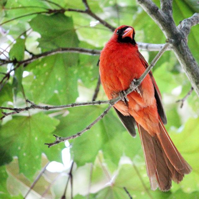 male-cardinal-toronto-2014-04