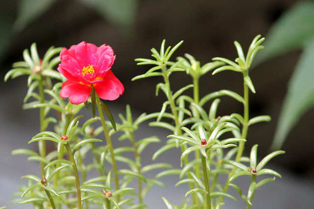 red-moss-rose