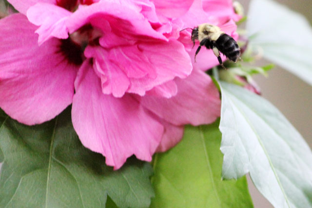 bee-in-the-hibiscus