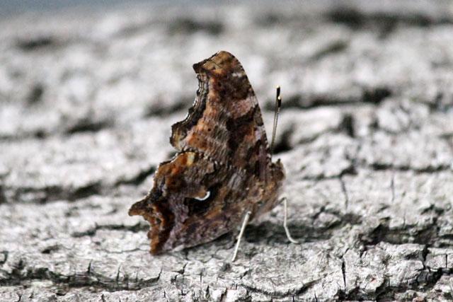 eastern-comma-butterfly-toronto