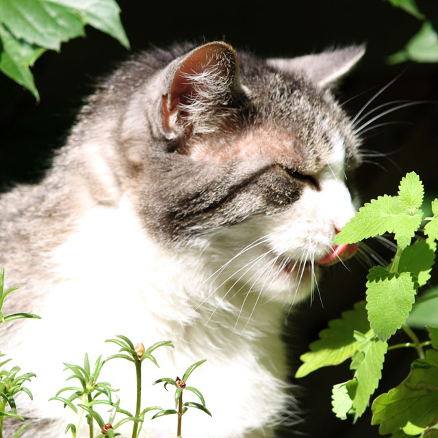 ed-eating-catnip-plant