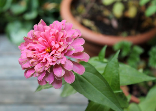 end-of-summer-pink-flower