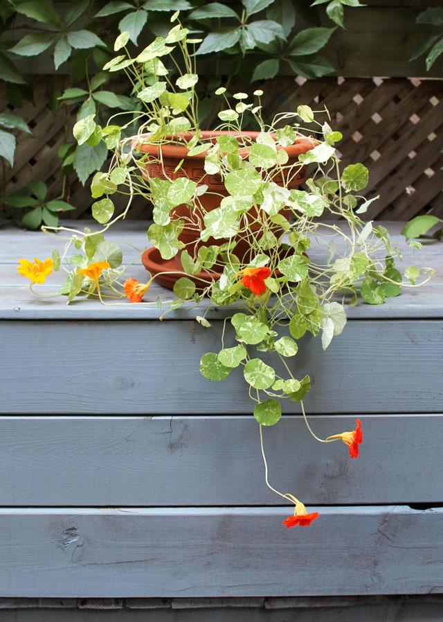 nasturtium-plant-alaska-mix