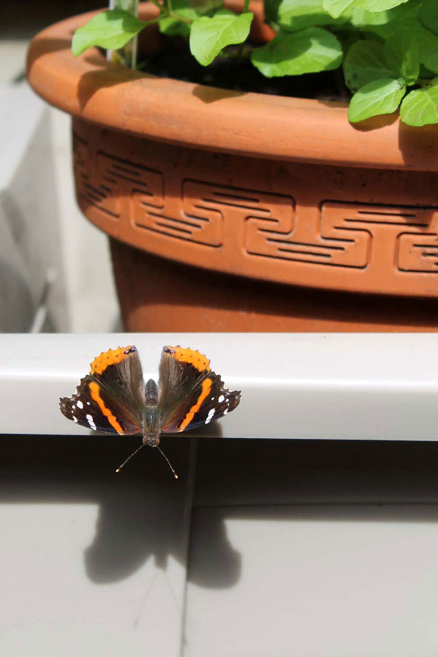 red-admiral-butterfly-toronto