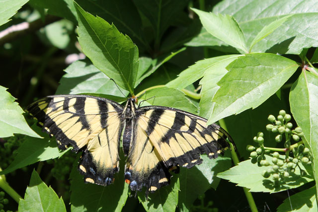 swallowtail-butterfly-03