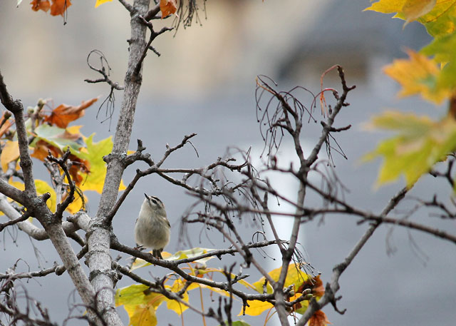goldcrest-kinglet-bird-in-toronto-fall-2014-02