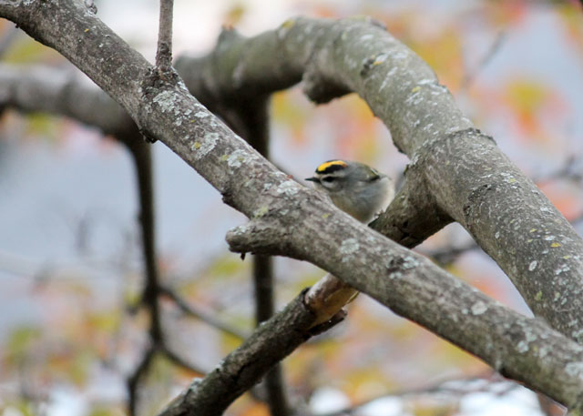goldcrest-kinglet-bird-in-toronto-fall-2014-03
