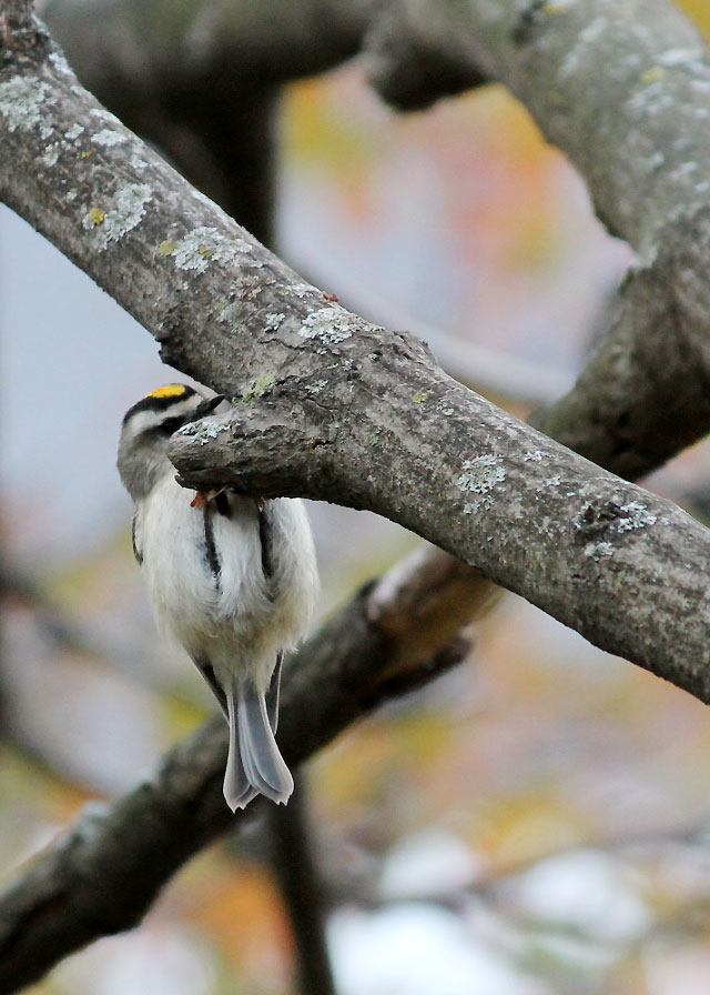 goldcrest-kinglet-bird-in-toronto-fall-2014-04