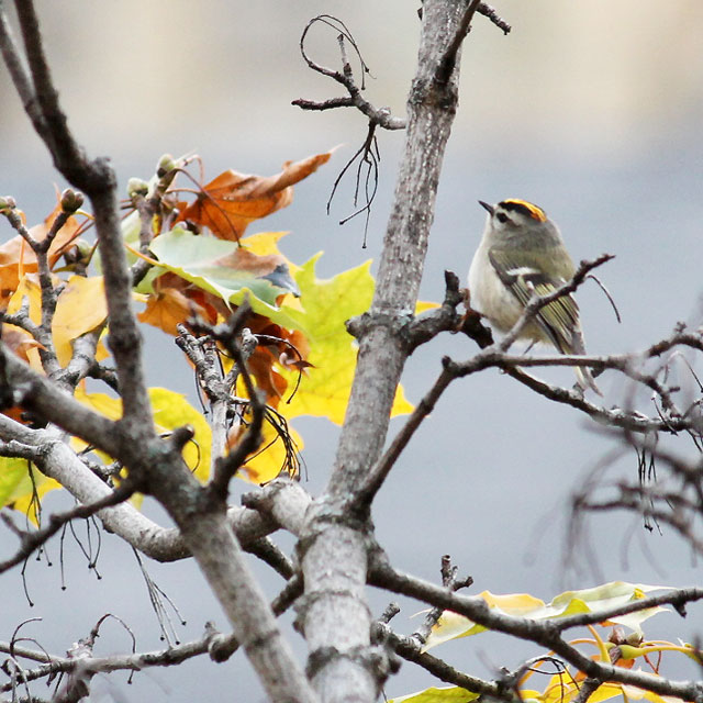 goldcrest-kinglet-bird-in-toronto-fall-2014