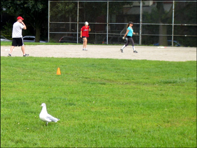 gull-on-a-baseball-diamond