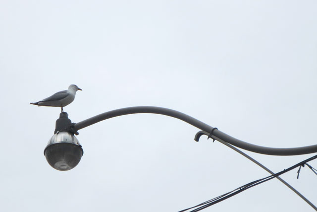 gull-on-a-light-post
