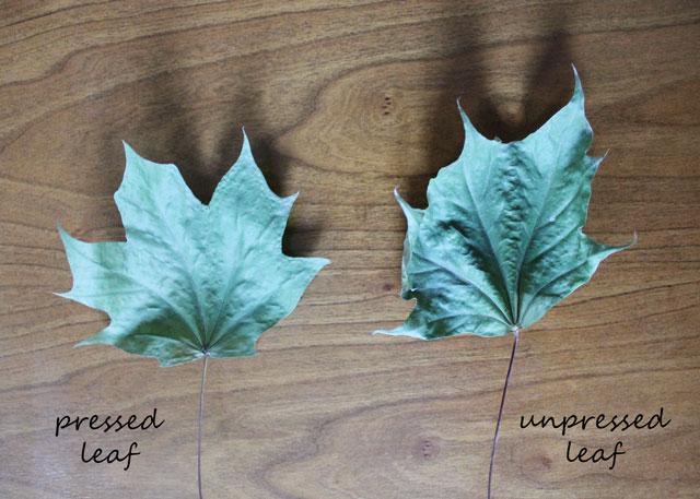 pressed leaf versus unpressed leaf