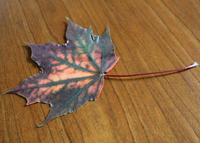 pressed-maple-leaf-with-part-that-attaches-to-branch-intact