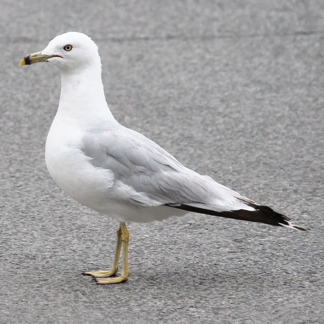 seagull-in-toronto-ring-billed