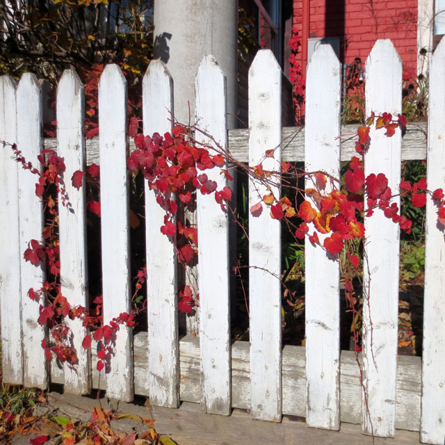 red-leaves-on-a-white-picket-fence