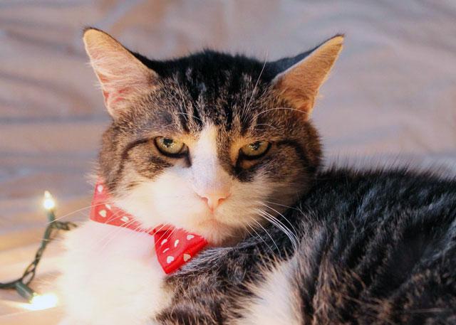 eddie cat christmas portrait 2014 04