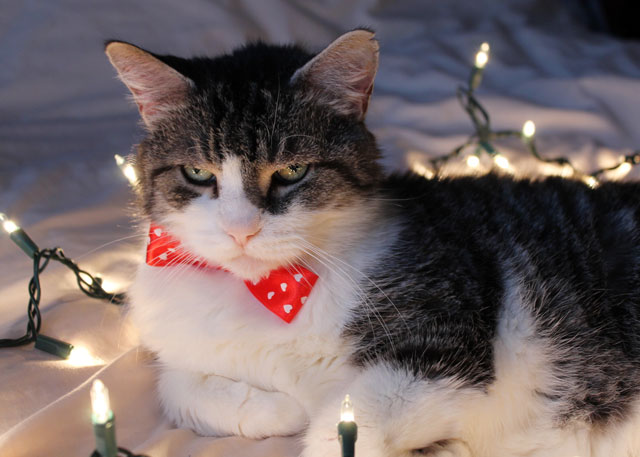 eddie cat christmas portrait 2014 05