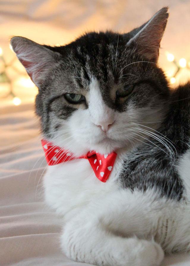 eddie cat christmas portrait 2014 06