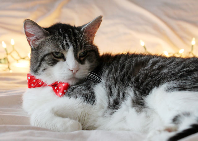 eddie cat christmas portrait 2014 07