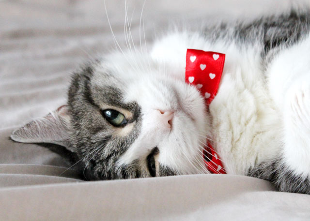 eddie cat with a bowtie hearts 3