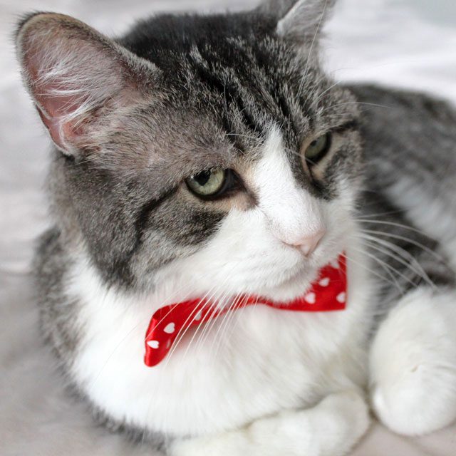 eddie cat with a bowtie hearts