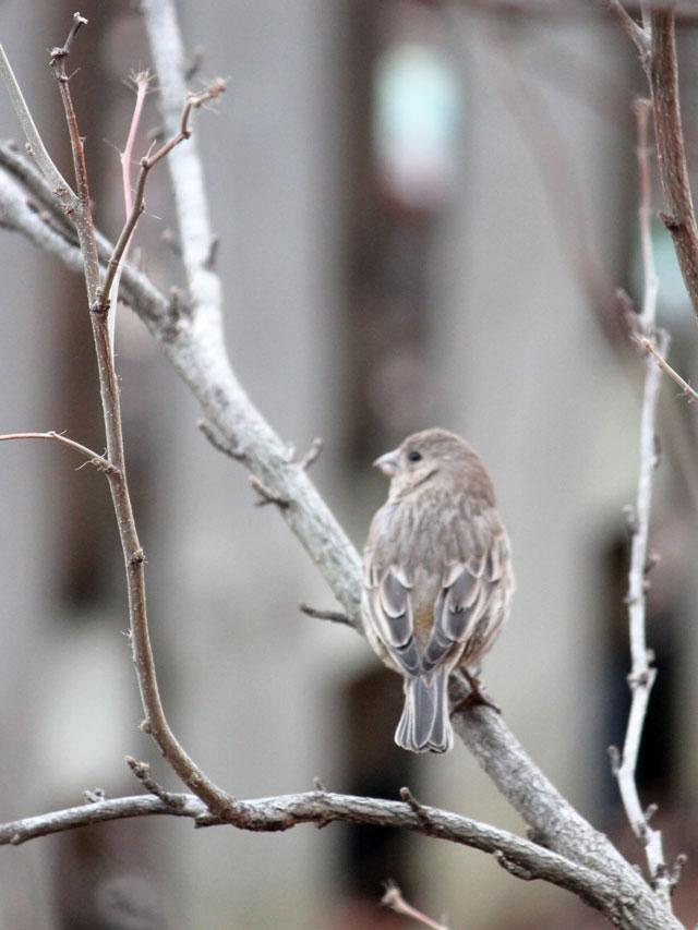 female house finch bird