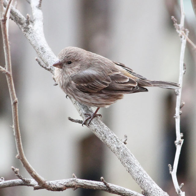 female house finch toronto spring 2015