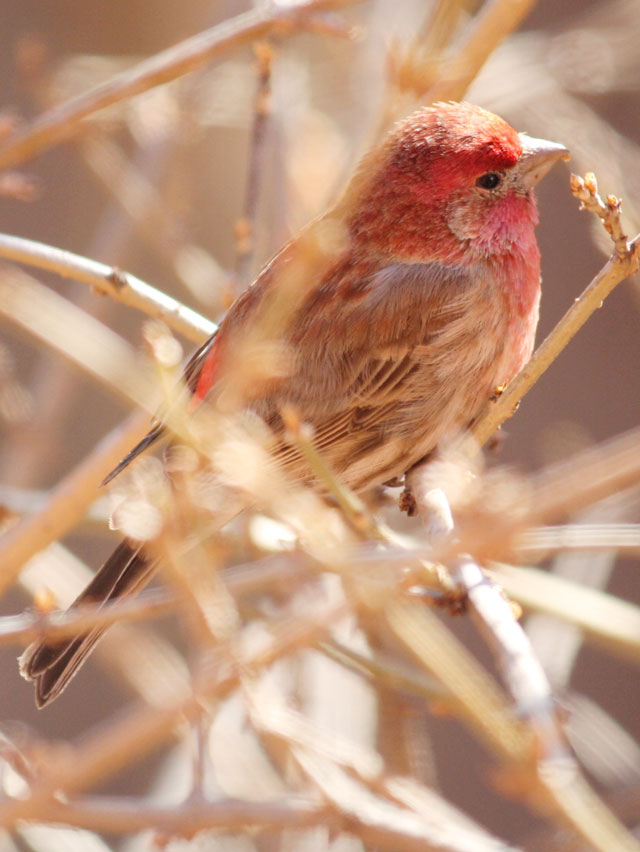 male house finch in toronto eating forsythia bud red bird