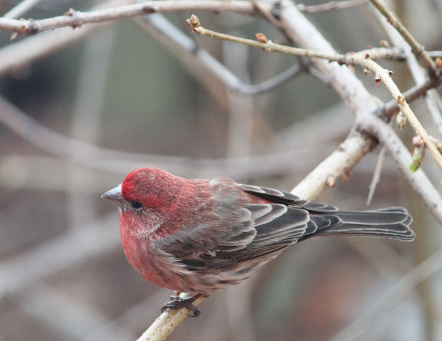 male house finch red bird toronto spring 2015