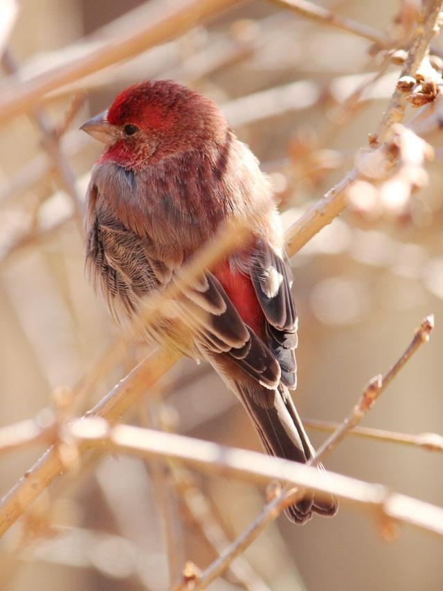 male house finch red bird toronto