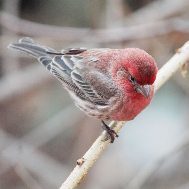 male house finch toronto spring 2015