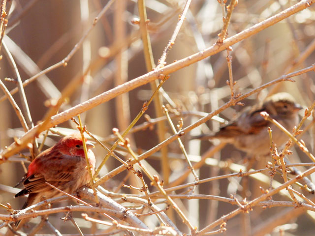 pair of house finches toronto spring 2015