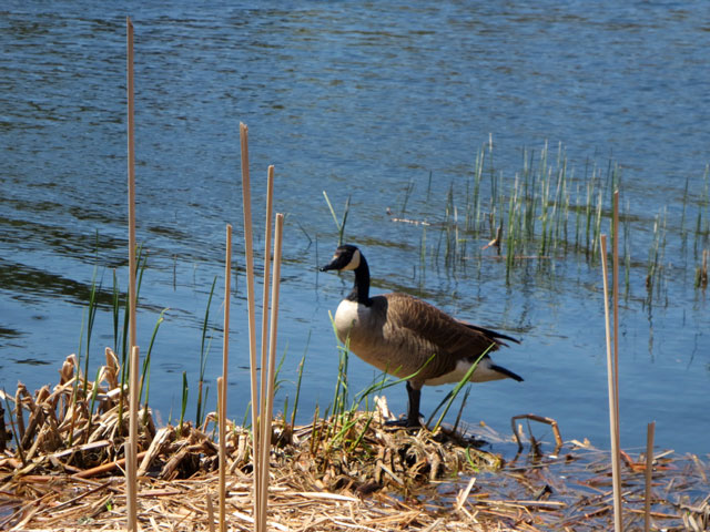 canada goose in high park