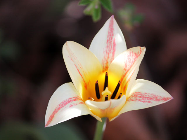 lilly flowered tulip