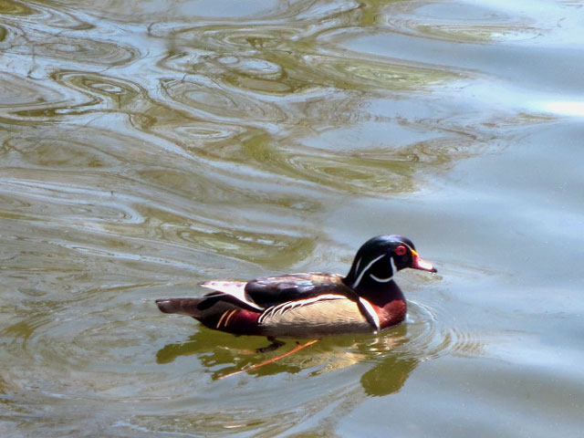 male wood duck in high park toronto