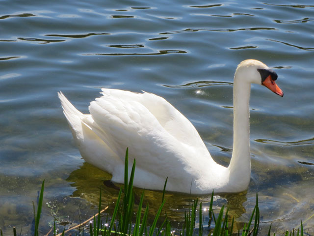 mute swan high park toronto