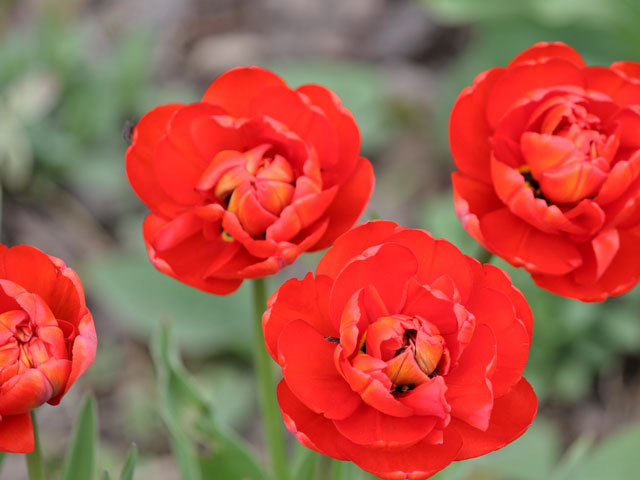 red peony tulips