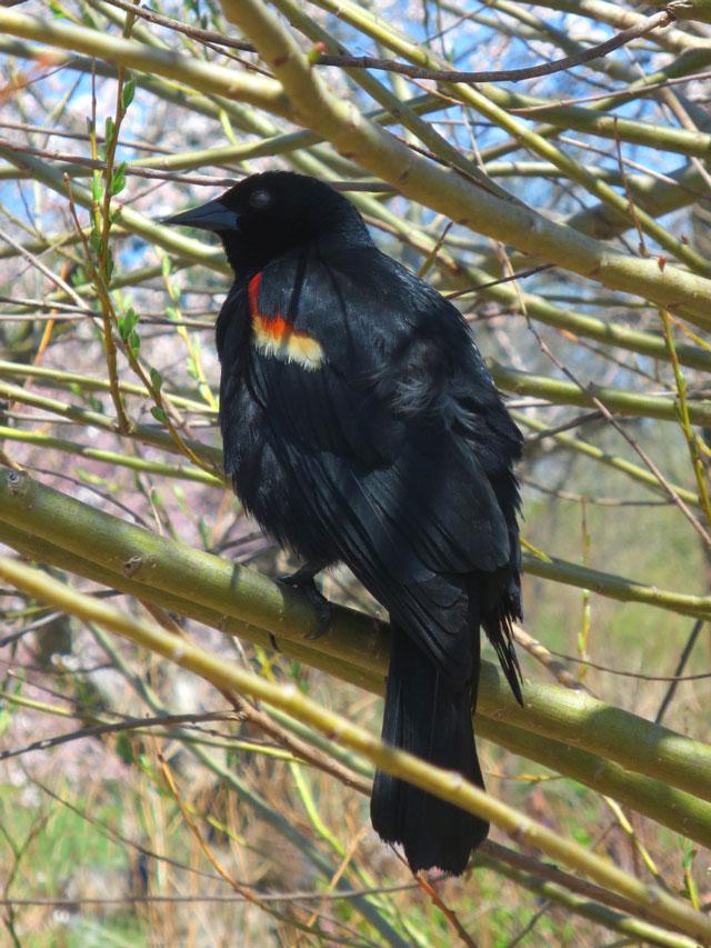 red winged blackbird in high park toronto