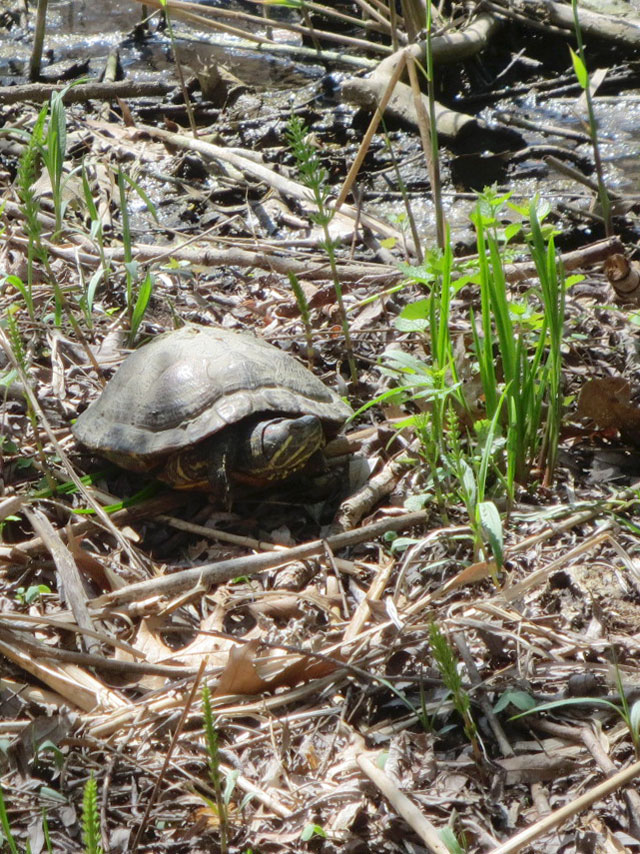 turtle in grenadier pond high park toronto